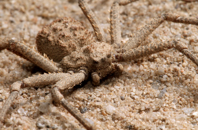 7-six-eyed-sand-spider