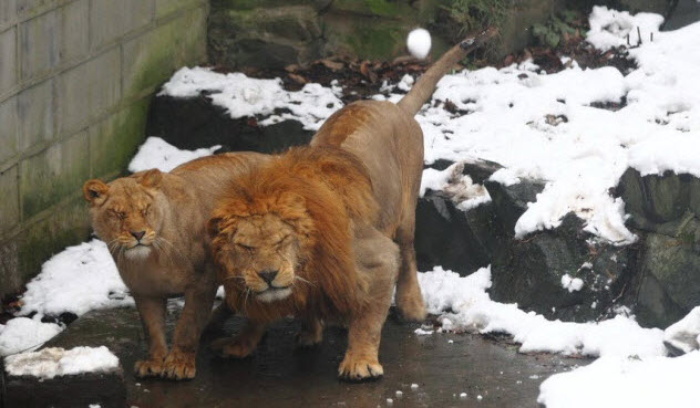7a-two-lions-and-snowball