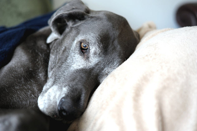 8-old-great-dane_66388587_SMALL
