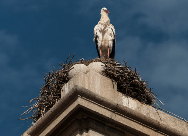 1-stork-nest-on-building_82432345_SMALL