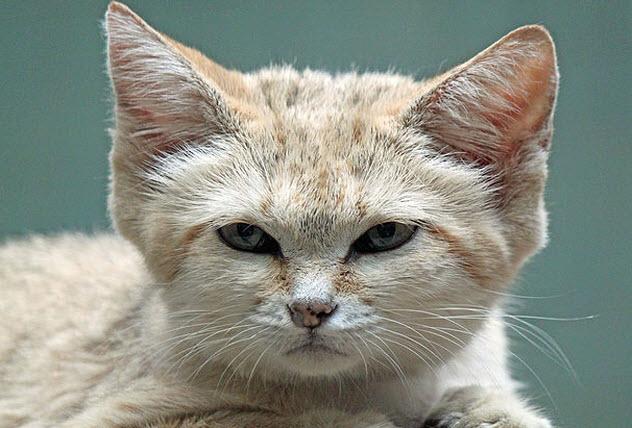 7-sand-cat