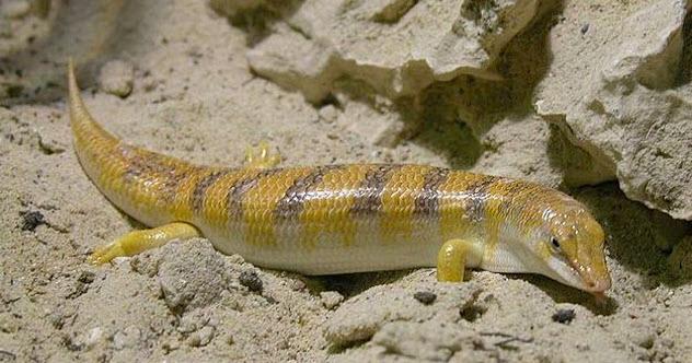 9a-sandfish