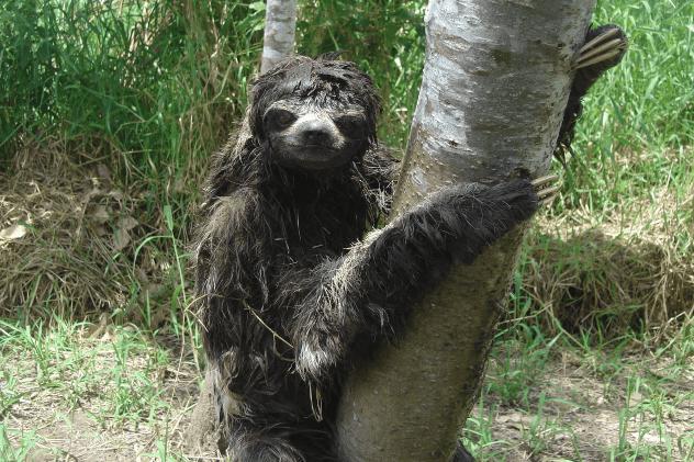 Sloth on Ground