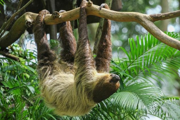 Sloths as Pets