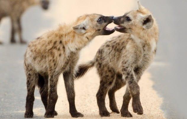 2a-hyenas_20651833_small