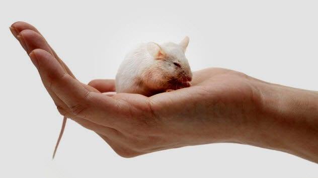 4b-white-mouse-182689941