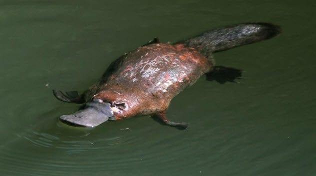 1-duck-billed-platypus