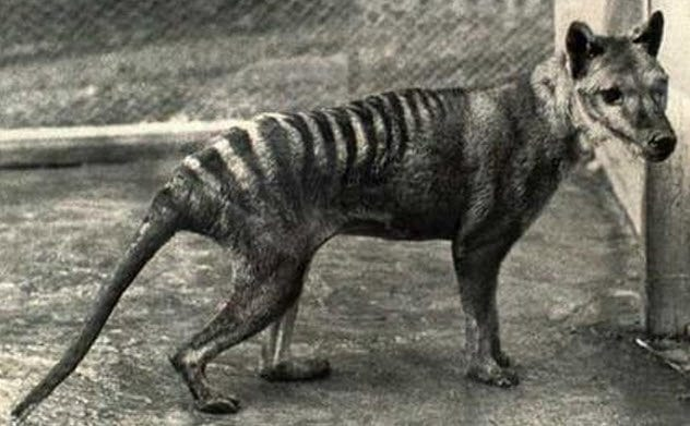 3-tasmanian-tiger