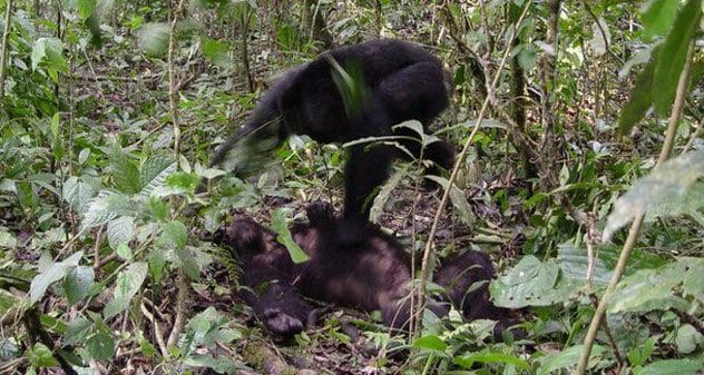 4-chimp-attacking-chimp
