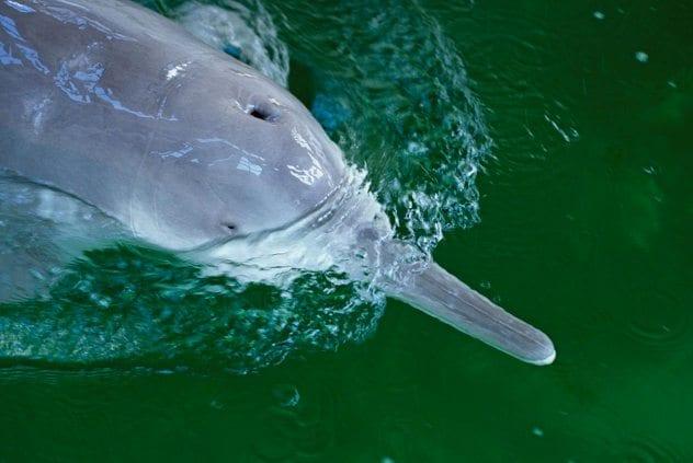 01-baiji-yangtze-river-dolphin
