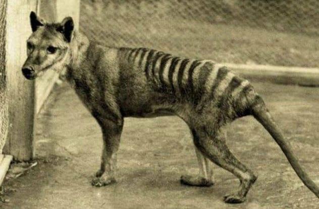 8-thylacine