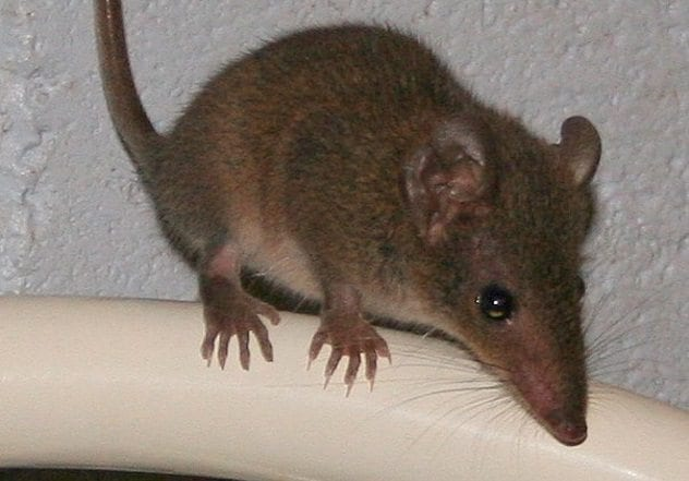 Brown Antechinus