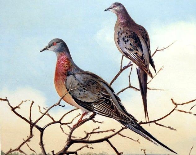 Yolcu güvercinleri