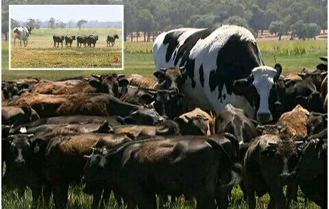 Worlds Biggest Cow' Escapes Slaughter Because It's Too Big To Fit In Abattoir