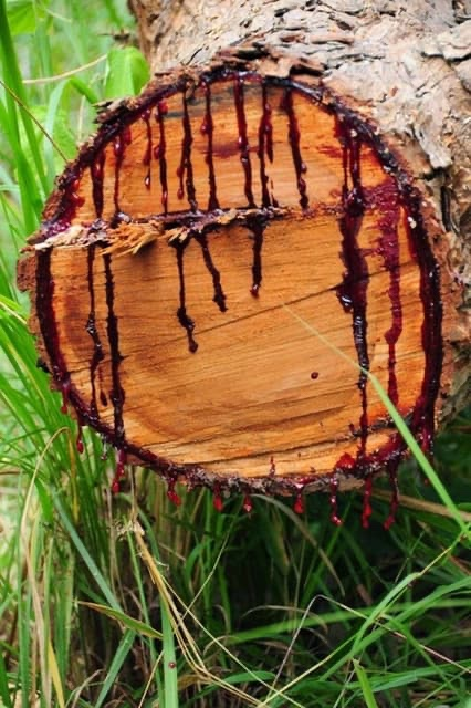 Bloodwood Tree – The Southern African Tree that Bleeds Like Humans