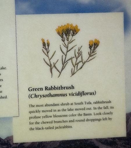 Rabbit Bush