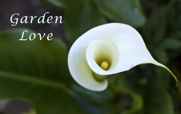 calla lily in the garden