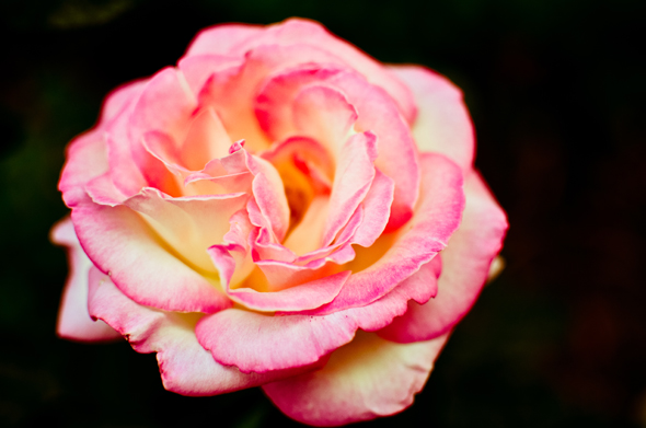 pink rose bloom