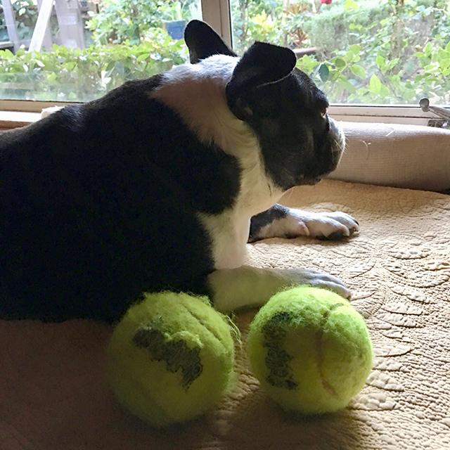 Bubba and tennis balls
