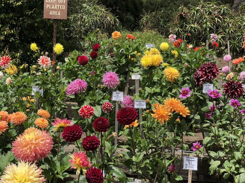 Dahlia garden at SF botanical garden