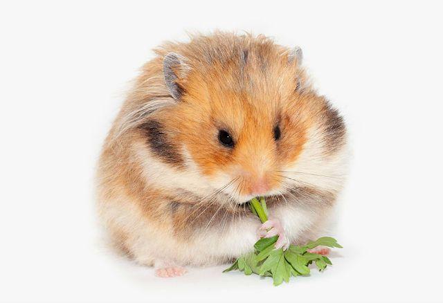 Foder född hamster