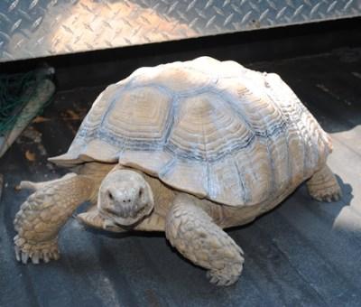 African Spurred Tortoise  © eddmaps