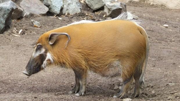 Potamochoerus porcus