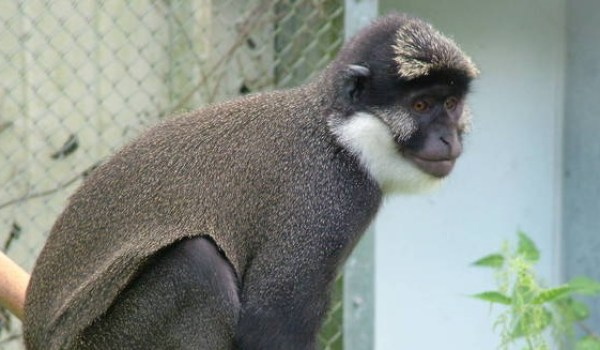 White Throated Guenon