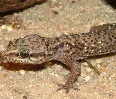 Hemidactylus brookii angulatus