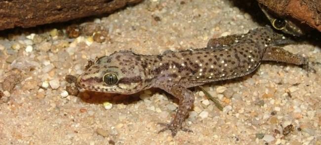 Common gecko
