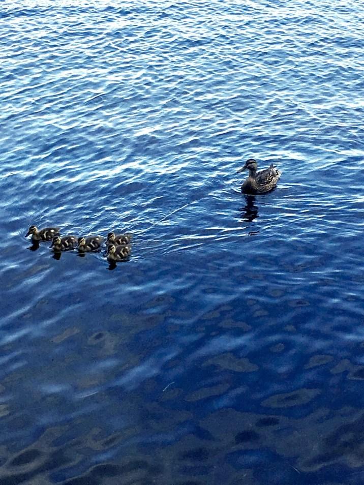 Lake Winni Ducks