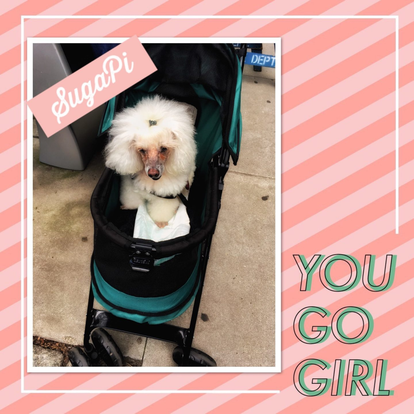 Cute dog in a stroller