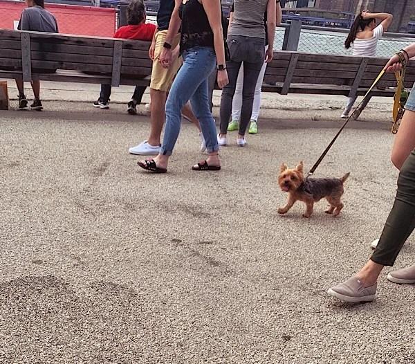 Cute Yorkie pup walking along the Brooklyn Heights Promenade