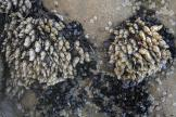 Gooseneck barnacles (in white) colonize an intertidal boulder at Torrey Pines State Beach.