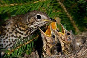crías de pájaros