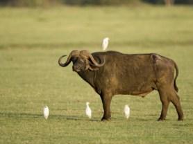 cape-buffalo-standing-with-cattle-egrets-lake-manyara-tanzania