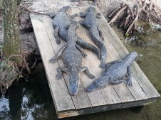 Barefoot Landing - Alligator Adventure