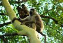 As Monkeys and Apes Are Thriving, Humans in Taita-Taveta Suffer Damage on Their Farms