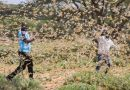 We Have Lost All our Produce to Locusts, Mwingi Residents Cry Out to the Government For Help