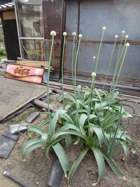 flowers japan 50