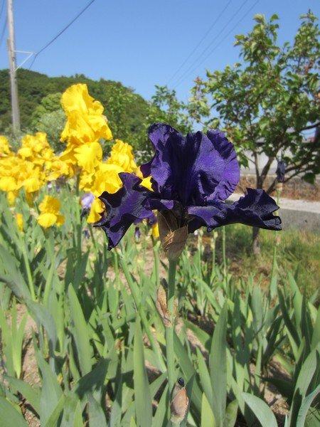 flowers japan 61