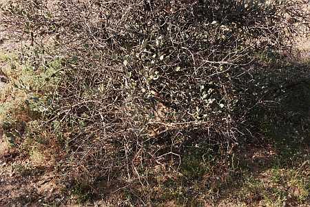 bush...