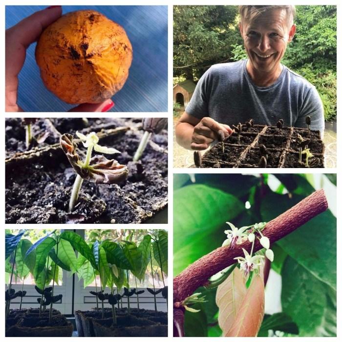 Harrer cocoa plants