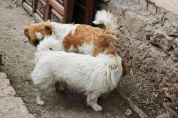 In Lijiang sind viele Hunde unterwegs