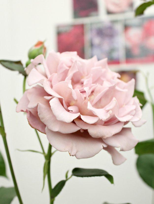 Koko-Loko-rose-photo-by-Little-Big-Bell