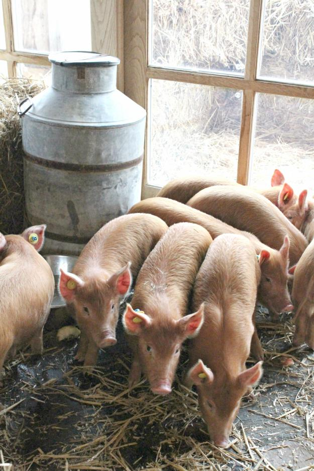 piglets-at-soho-farmhouse-little-big-bell