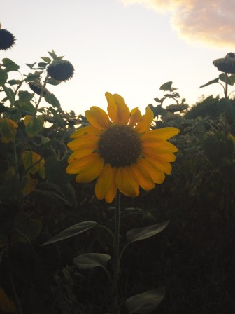 Lonely Little Dwarf Sunflower