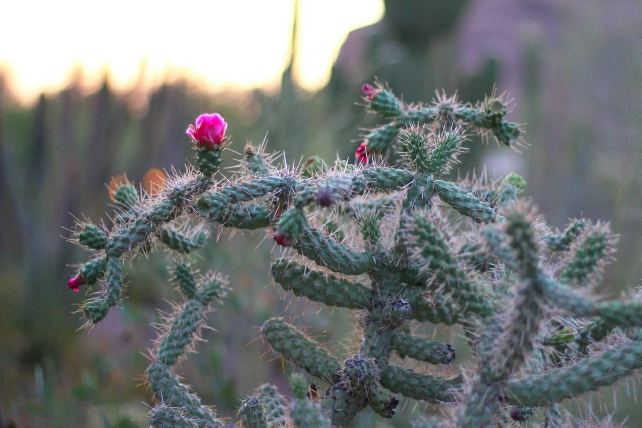 botanical cacti