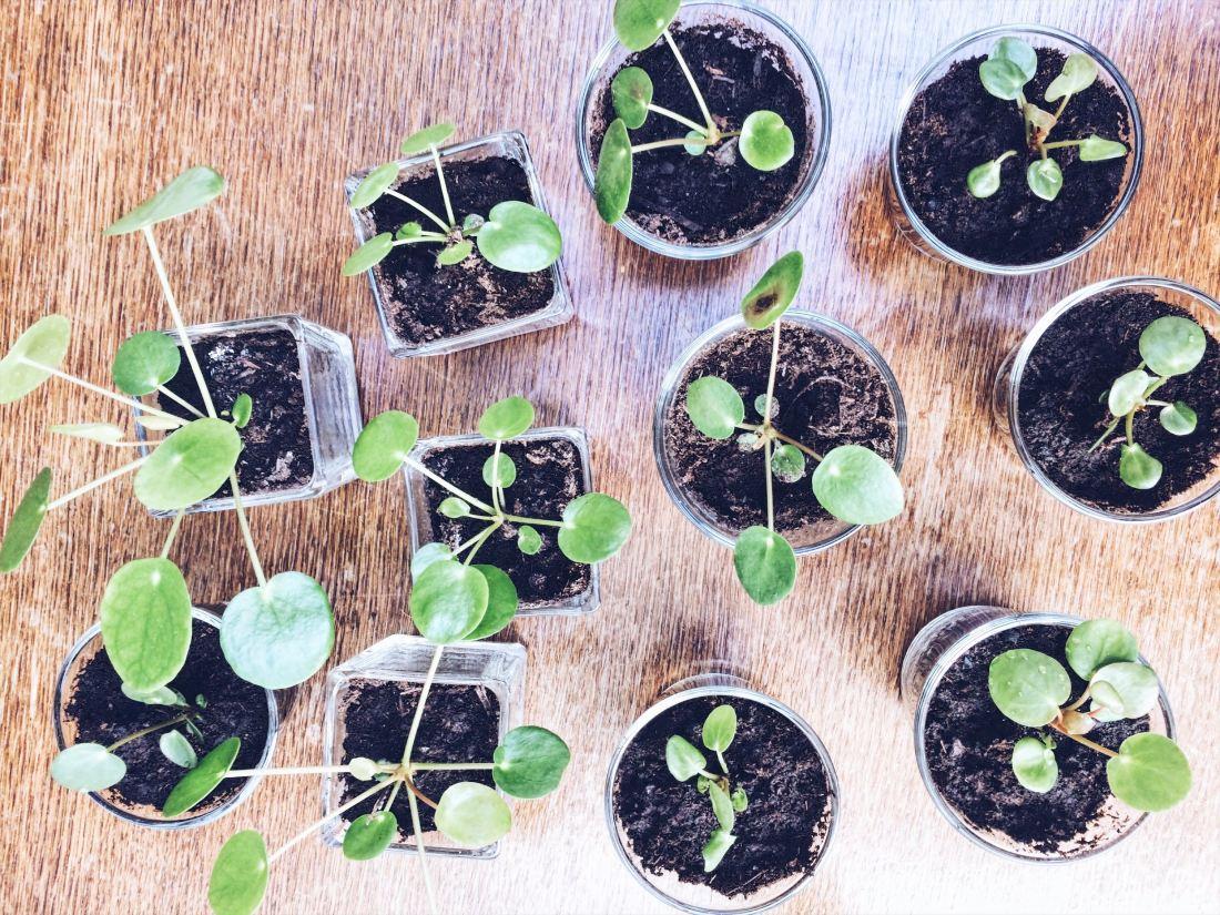 Pannenkoekplanten