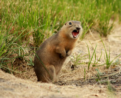 prairie dogs photo
